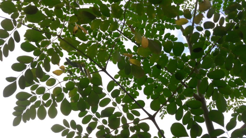 moringa helps with reforestation