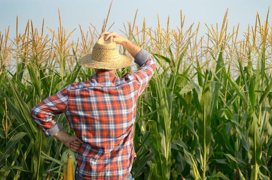 corn farm with the farmer in the sun
