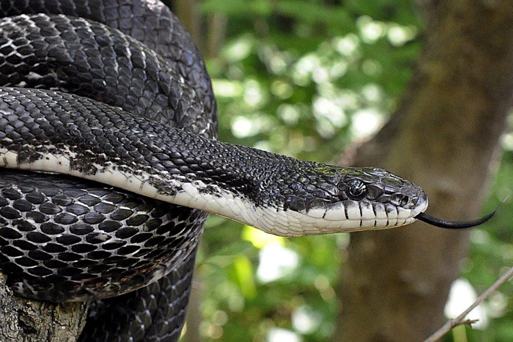 black rat snakes