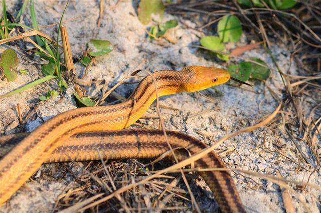 yellow rat snakes