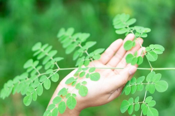woman-holding-moringa-leaves